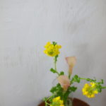 菜の花とカラー