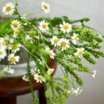 マトリカリア ゴールデンクラッカー 菜の花