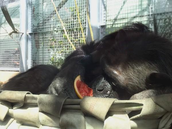 福岡市動物園 チンパンジー