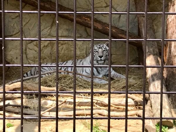 大牟田市動物園 ホワイトタイガー